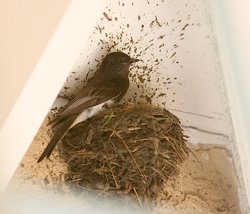 Black Phoebe at Nest