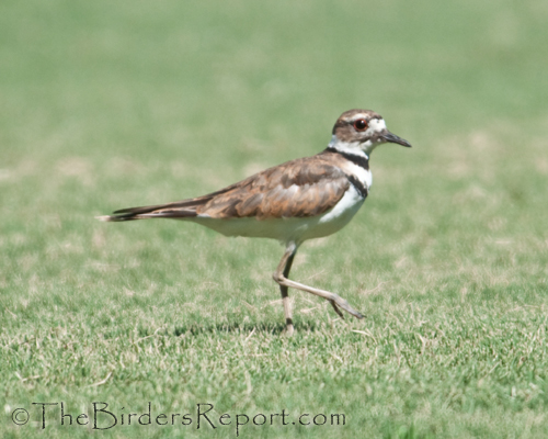 killdeer, plover