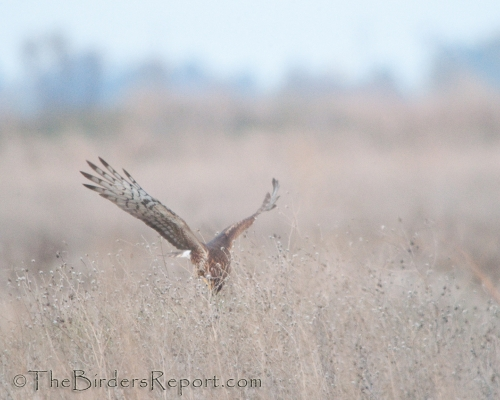 Northern Harrier Female Pouncing on Prey