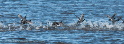 American Coots Take Off