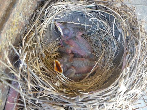 Amerocan Robin Nestlings