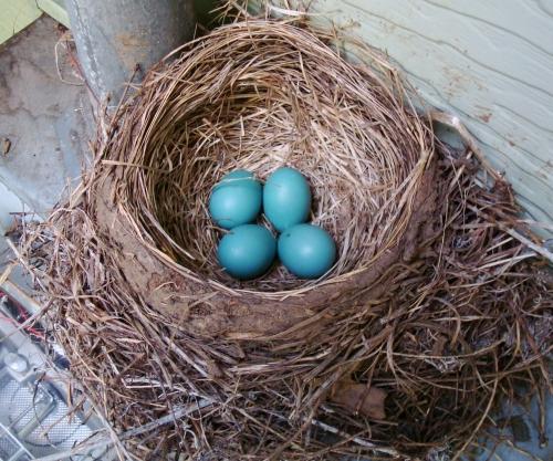 American Robin nest, robin nest, robin eggs
