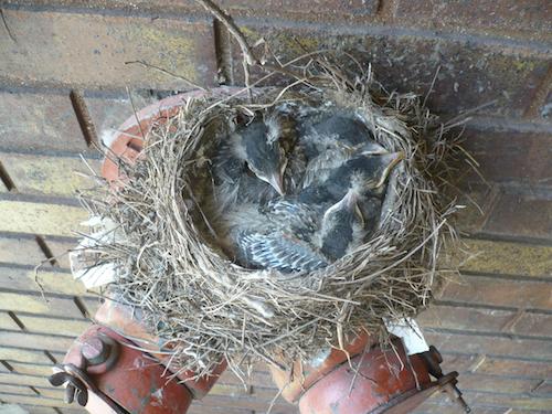 American Robin Nestlings