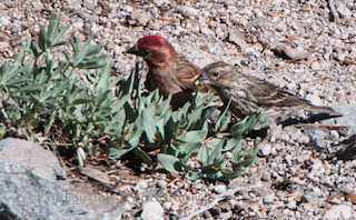 Cassin's Finch Pair