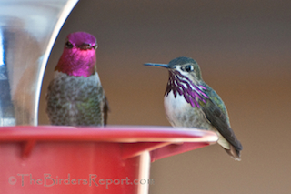 Calliope and Anna's Hummingbirds at Feeder
