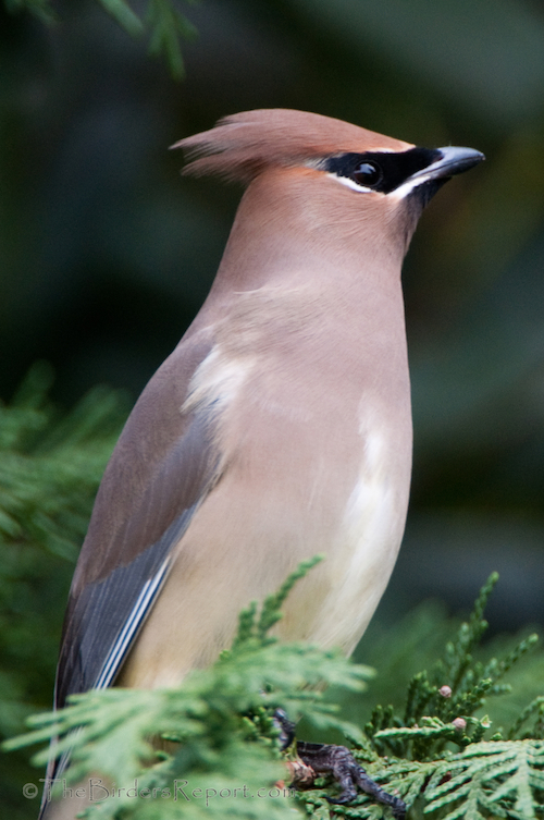 Cedar Waxwings, a New Year, a New Yardbird