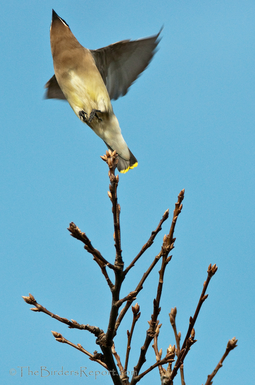 Cedar Waxwing Hawking Insects
