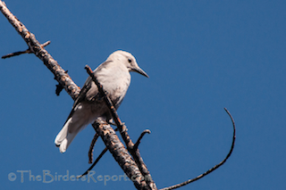 Clark's Nutcracker at Lassen Volcanic National Park