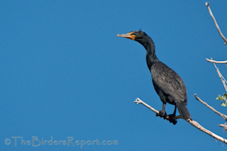 Thumbnail image for Double-crested Cormorants