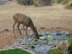 Deer At Pond