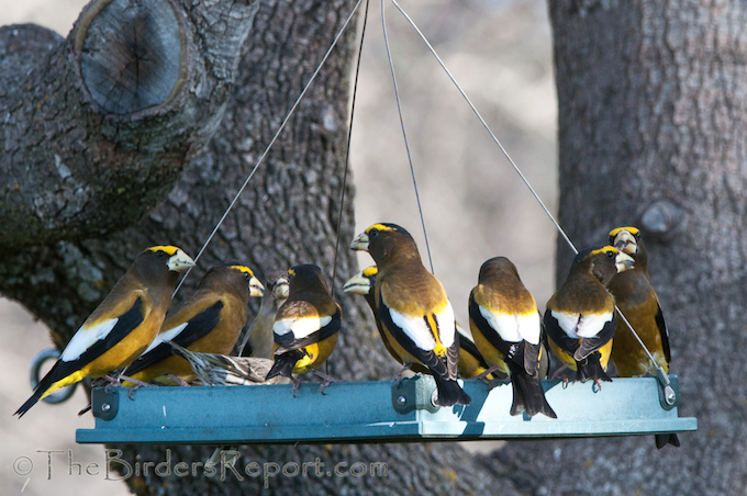 Evening Grosbeaks and Pine Siskin at Feeder