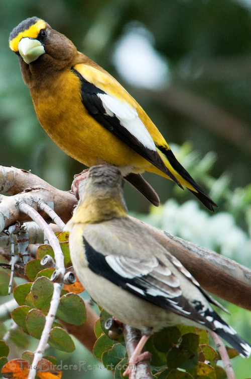 Evening Grosbeaks Irrupt at the American Birding Association