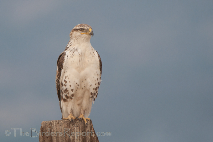 Ferruginous Hawk on Rat Farm Road