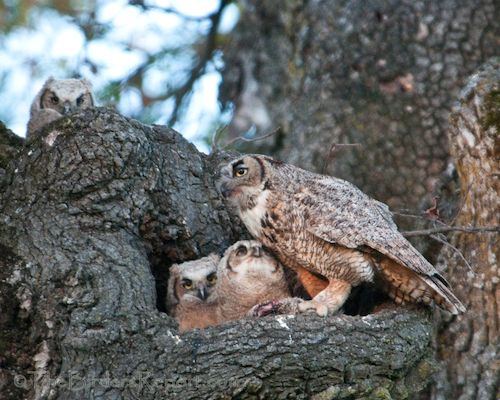 GHOWmamaWith3Owlets04212012
