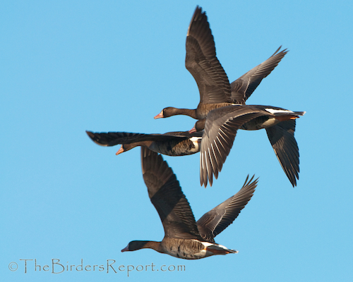 Greater White-fornted Goose