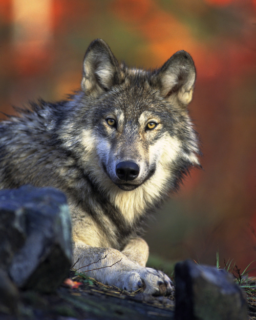 Do You Like Wolves? Want to Help Save Them?