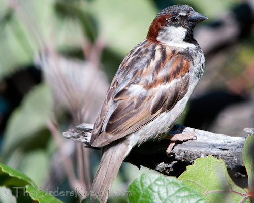 House Sparrows Taking Over Cliff Swallow Nests