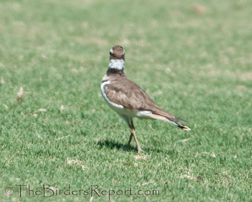 killdeer, plover, shorebird