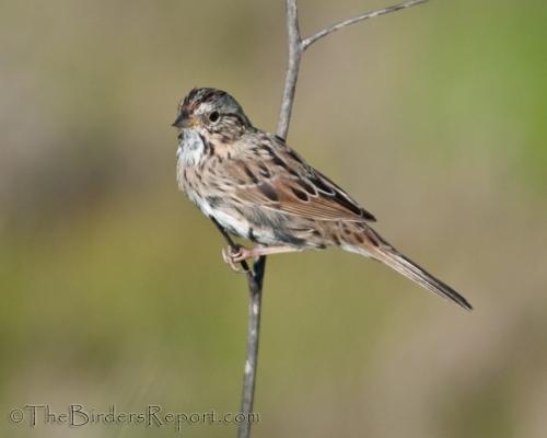 Lincoln's Sparrow, sparrow