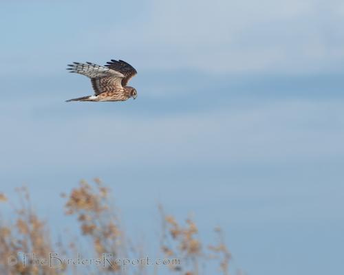 The Northern Harrier AKA Marsh Hawk