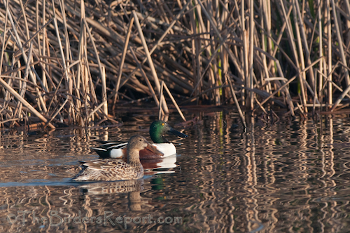 A Closer Look at the Northern Shoveler