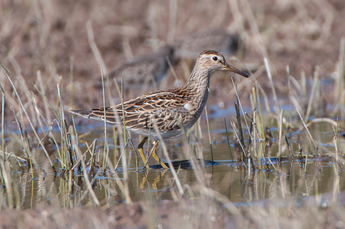 Pectoral Sandpipers in Shasta County?