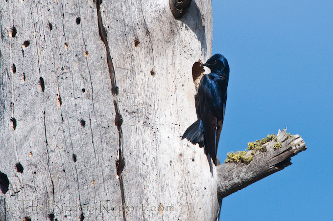 Purple Martins Building a Nest in a Woodpecker Hole in a Dead Snag