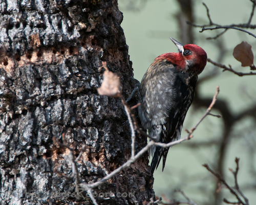 A Red-breasted Sapsucker Drilling Sap Wells