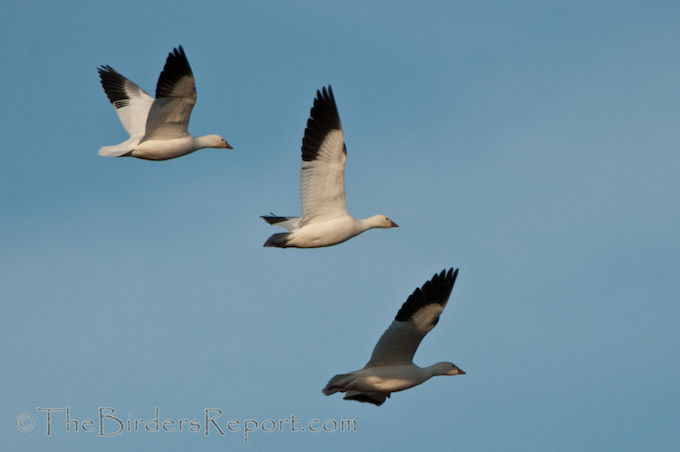 Ross's Geese at Klamath National WIldlife Area, Miller Island Unit