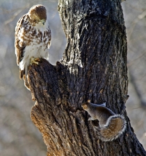 Red-tailed Hawk and Gray Squirrel