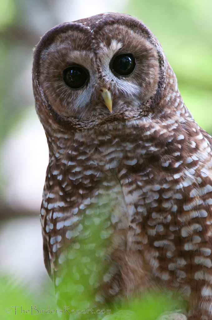 The Northern Spotted Owl: One of the Most Studied Owls in the World