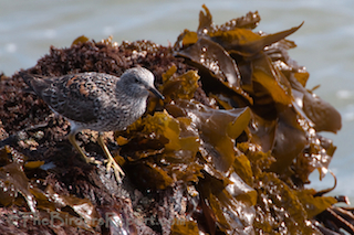 Thumbnail image for Surfbirds at Humboldt Bay North Jetty During Godwit Days Bird Festival at 10000 Birds