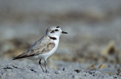 Federal Government Doubles Critical Habitat for Pacific Coast Western Snowy Plover