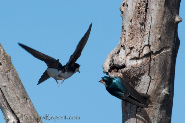 Tree Swallows Pair Bonding