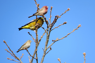 House Finch, Evening Grosbeak and Pine Siskin