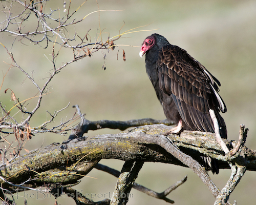 Turkey Vultures Deserve More Respect