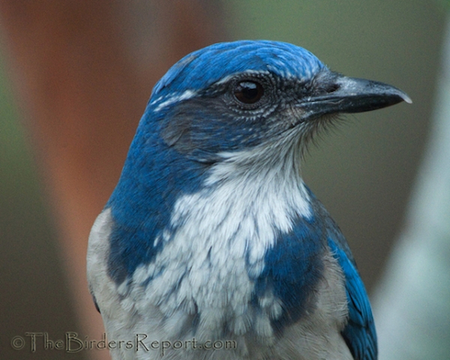 Western Scrub-Jays Bring Their Young to the Pond