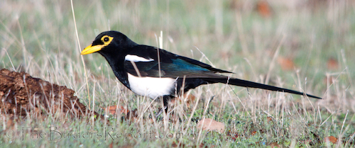 The Yellow-billed Magpie is a California Endemic