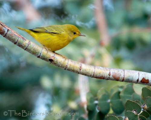 When You Think of a Yellow Bird, What Comes to Mind?