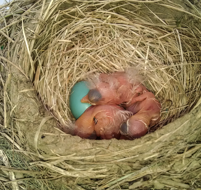 American Robin Nest and Egg with Nestlings