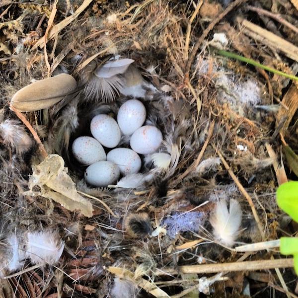 Bewick's Wren Nest and Eggs
