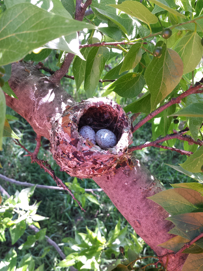 Blue-gray Gnatcatcher Nest with Eggs