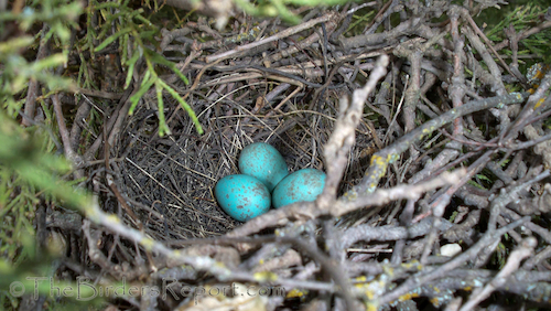 California Thrasher Eggs