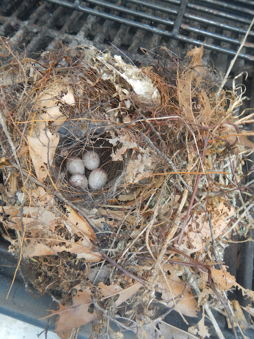 Carolina Wren Nest and Eggs in BBQ