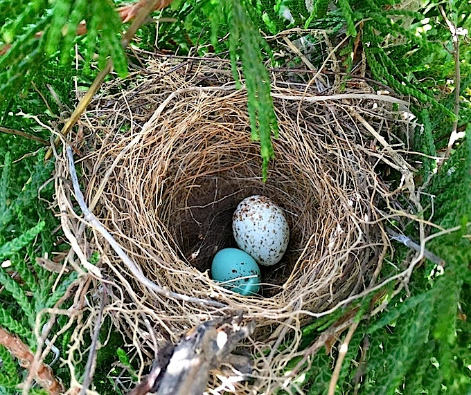 Chipping Sparrow Nest with Brown-headed Cowbird Egg