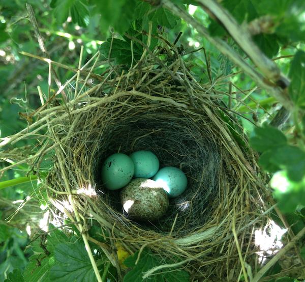 Chipping Sparrow Nest & Eggs