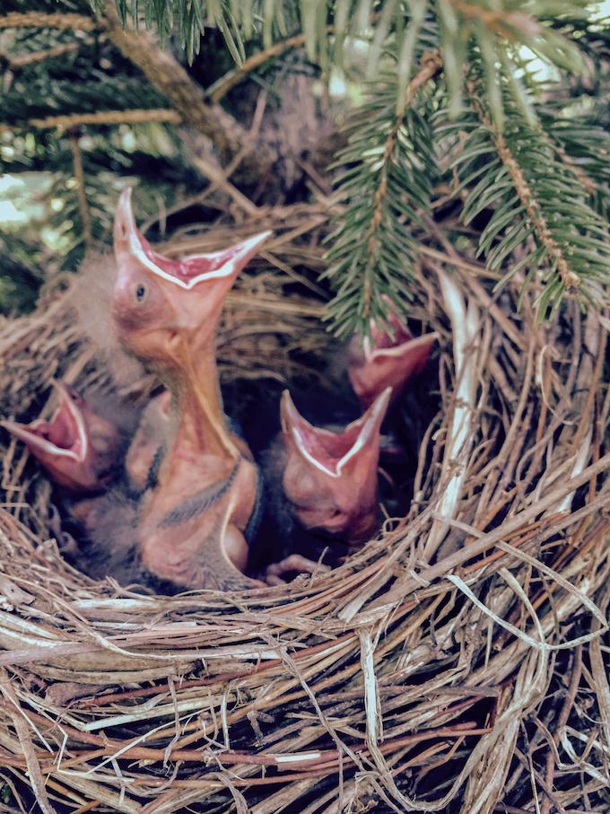 Common Grackle Nestlings