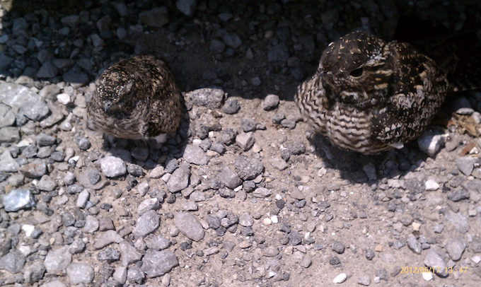 Common Nighthawk with Chick