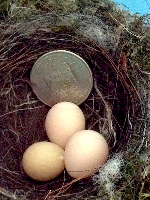 Eastern Phoebe Nest with Eggs