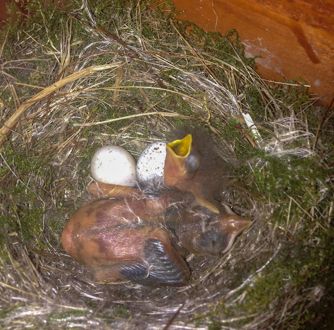 Eastern Phoebe Nest with Brown-headed Cowbird and Eastern Phoebe Nestlings